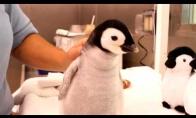 Kaip reikia šerti mėnesio imperatoriškąjį pingviną