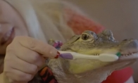 Naminis gyvūnas aligatorius