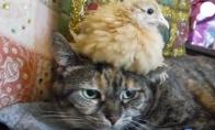 Katės ir viščiukai - geri draugai?