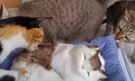 Katės tikrina pliušinę katę
