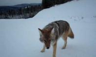 Kojotas bando užpulti žmogų