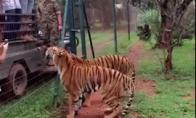 Alkanas tigras