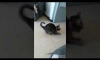 Įdomi katės žaidimo technika