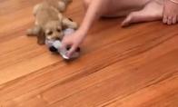 Prisikabinęs šuo