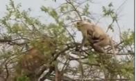 Beždžionė šaiposi iš tigro