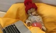 Katė čilina