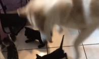 Haskis ir kačiukai