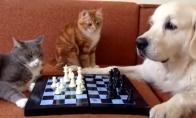 Katė ir šuo žaidžia šachmatais