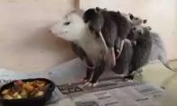 Miela oposumų šeimynėlė