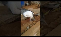 Visiškai trūkęs katiniukas