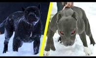 Šunys, kurie atrodo taip, lyg būtų sukurti demonų