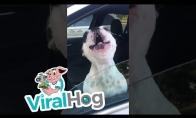 Dainingas šunelis