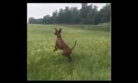 Šuo - kengūra