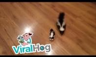 Skunsas žaidžia su žaisliniu skunsu
