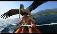 Prijaukintas pelikanas ir gopro