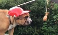 Jie bandė apgauti šunį su kulšele ant virvės