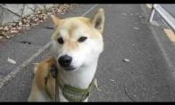 Šuo atsako į sirenos kaukimą