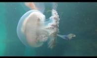 Žuvis susirado medūzos prieglobstį