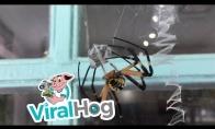 Gąsdinantis vorų poravimosi ritualas