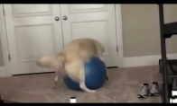 Šuo įstrigino save ant gimnastikos kamuolio