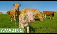 Kai karvė prašo pagalbos