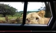 Liūtas atidaro mašinos duris