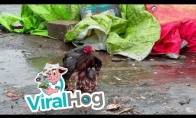 Višta saugo savo mažylius nuo lietaus