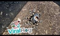 Tarantulos išsinėrimas
