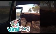 Karvė daro kiki iššūkį