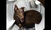 Šuo pasislėpė džiovyklėje nuo griaustinio