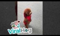 Šunytis bėgioja ant dviejų kojų