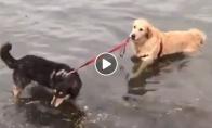 Šuo įsitempia savo draugą į vandenį