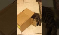 Kvailas katino šuolis į dėžę