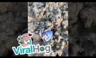 Mėlynas krabas skuodžia paplūdimiu