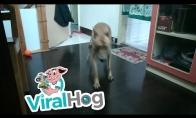 Šuo bėgioja po namus kaip pašėlęs