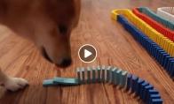 Šuo nuverčia 1000 domino