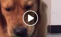 Šuo dievina daržoves