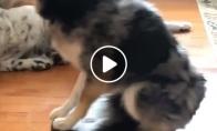 Šuniui patinka važinėtis ant automatinio dulkių siurblio