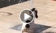 Prancūzų buldogas žaidžia su fontanu