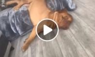 Šuo labai tingiai nusiridena nuo sofos