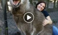 Vilkas - tikras milžinas