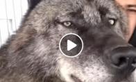 Kaip atrodo gyvenimas su didžiausiu vilku pasaulyje