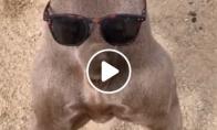 Šuo su akiniais ant užpakalio