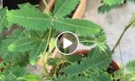 Labai jautrus augalas
