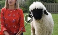 Avis, kuri jaučiasi šunimi