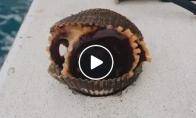 Žvejys atrado aštuonkojį kriauklėje
