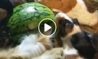 Jūrų kiaulytės doroja arbūzą