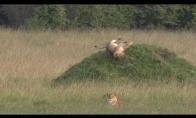 Liūtas nusiverčia nuo kalnelio