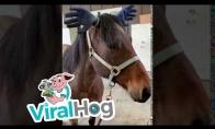 Arklys su kvaila kepure