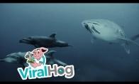 Du delfinai ir bangininio ryklio palyda